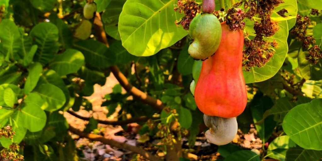 How are cashews grown?